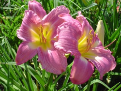 daylilies Always Tomorrow