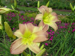 BIG DOLLY daylilies