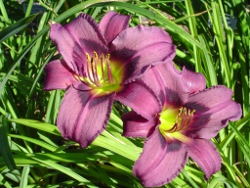 daylily Blueberry Muffin