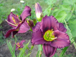 daylily Cinderellas Dark Side