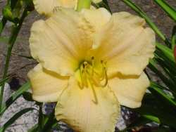 Early & Often daylily