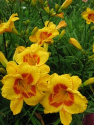Fooled Me daylilies