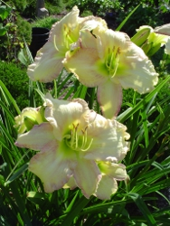daylily Frosted Vanilla