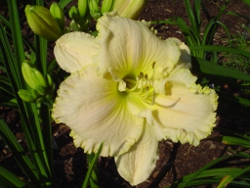 Great White daylily