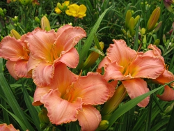 daylily Simple Splendor