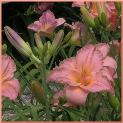Simple Splendor daylilies