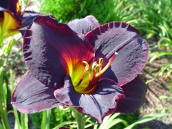 Smith Brothers daylily