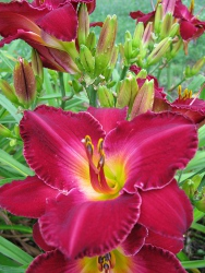 Daylily TEABERRY TYCOON