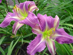 What's What daylily