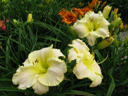 daylily White Summer