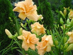 daylily Zella Virginia